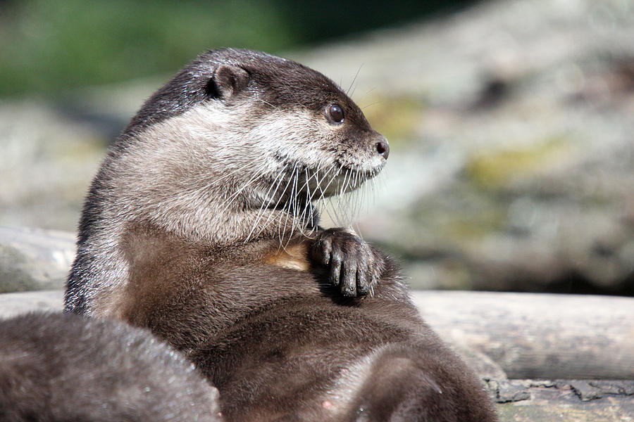 Why the asian small clawed otter