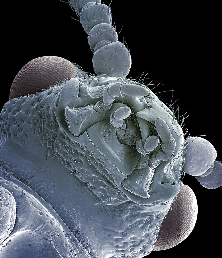 Animal Photograph - Asparagus Beetle, Sem by Steve Gschmeissner