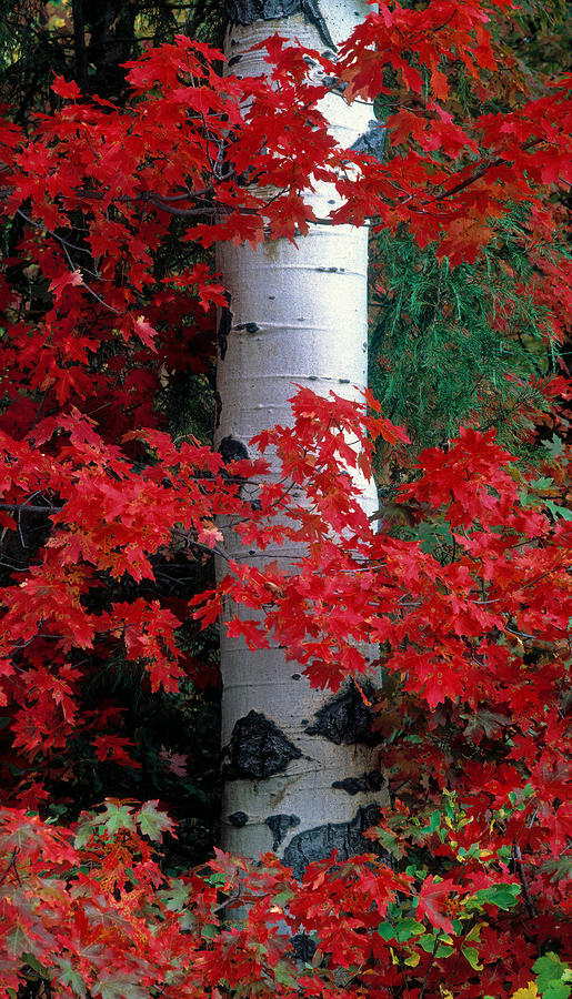 Aspen And Mountain Maple Photograph  - Aspen And Mountain Maple Fine Art Print