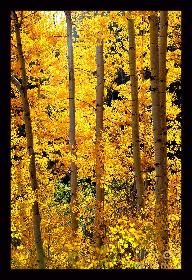 Golden Aspens Photograph - Aspen Family by Susanne Still