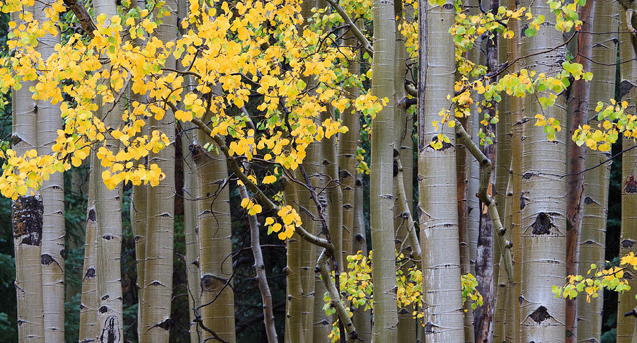 Aspen Photograph - Aspen Gold by Adam Pender