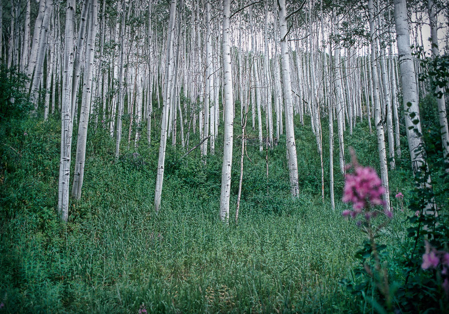 Aspen Grove Photograph  - Aspen Grove Fine Art Print