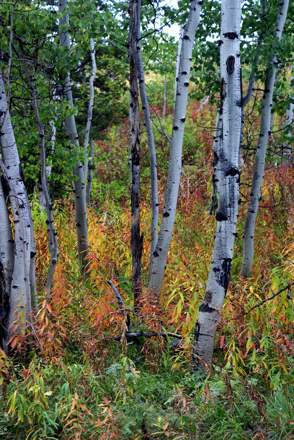 Aspen In Fall Photograph