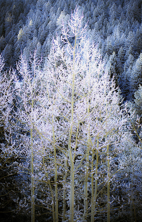 Trees Photograph - Aspen Lace by Beth Riser