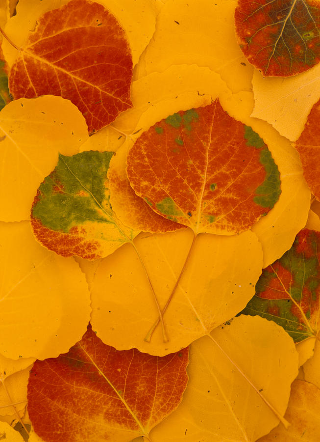 Aspen Leaves, Fall Color, Kachina Peaks Photograph  - Aspen Leaves, Fall Color, Kachina Peaks Fine Art Print