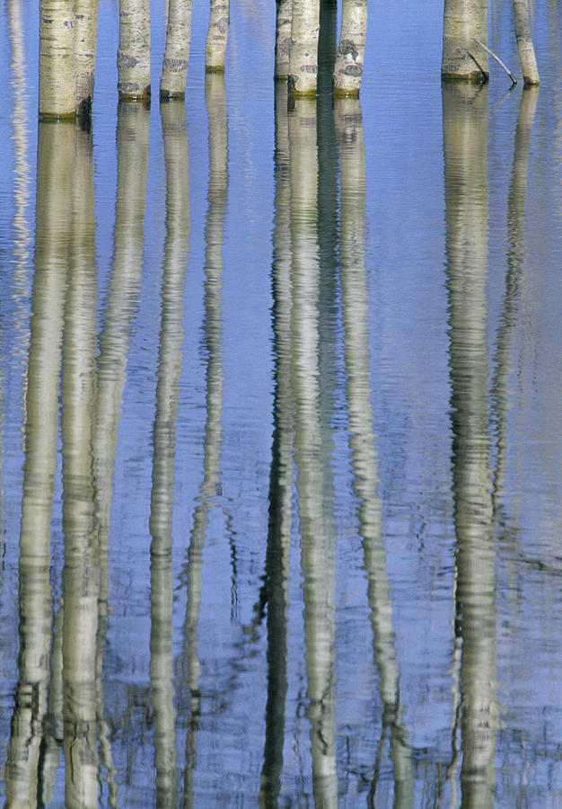 Aspen Poplar Trees Reflected In Spring Photograph  - Aspen Poplar Trees Reflected In Spring Fine Art Print