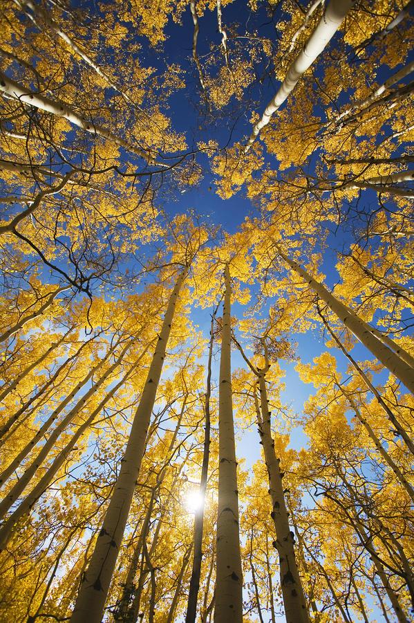 Aspen Tree Canopy 3 Photograph