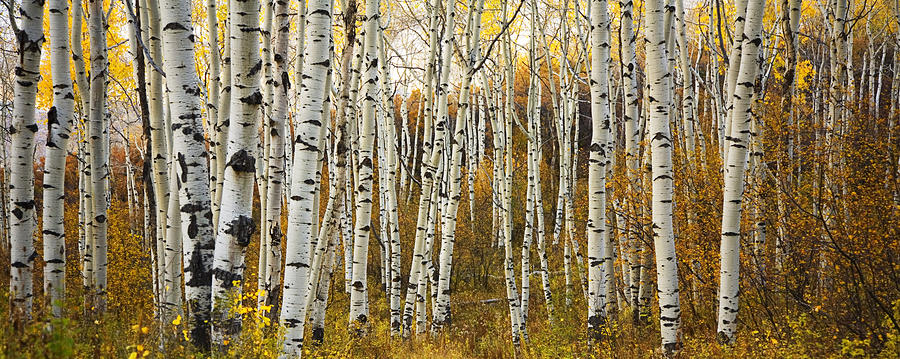 Aspen Tree Grove Photograph