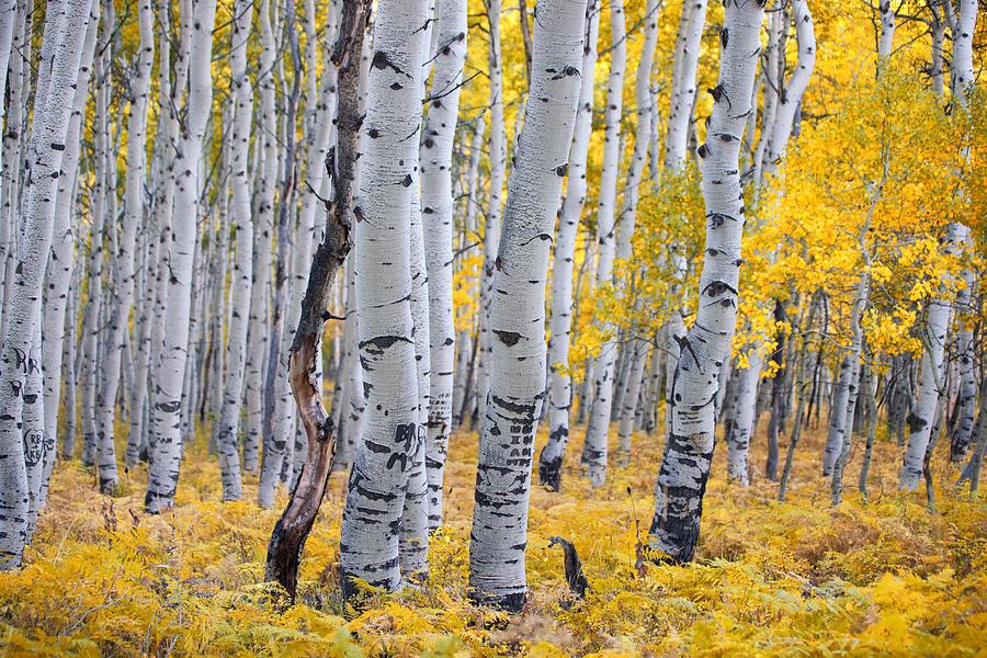 Aspen Trees Photograph