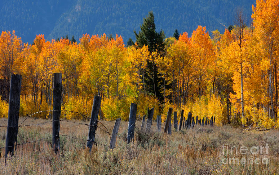 Aspens And Fence Photograph
