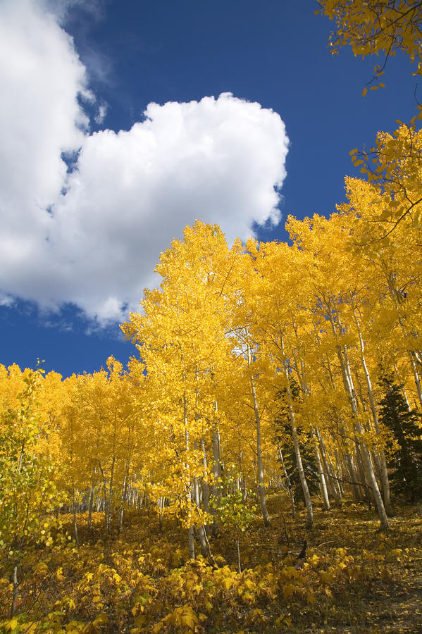 Aspens And Sky Photograph