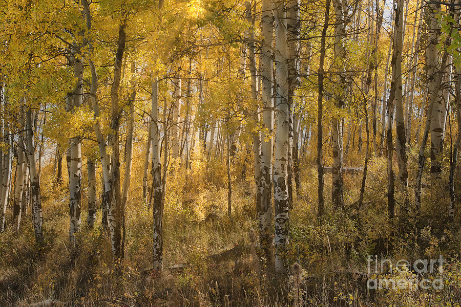 Aspens At Sunrise - Grand Tetons Photograph