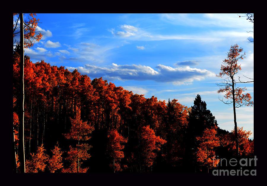 Aspens In Sunset Light Photograph