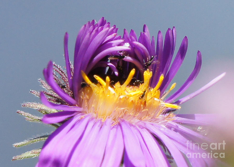 Asters Starting To Bloom Close-up Photograph