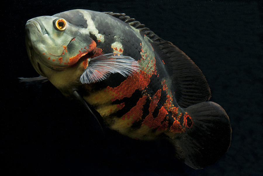 Astronotus ocellatus velvet cichlid oscar cichlid by for Large oscar fish for sale