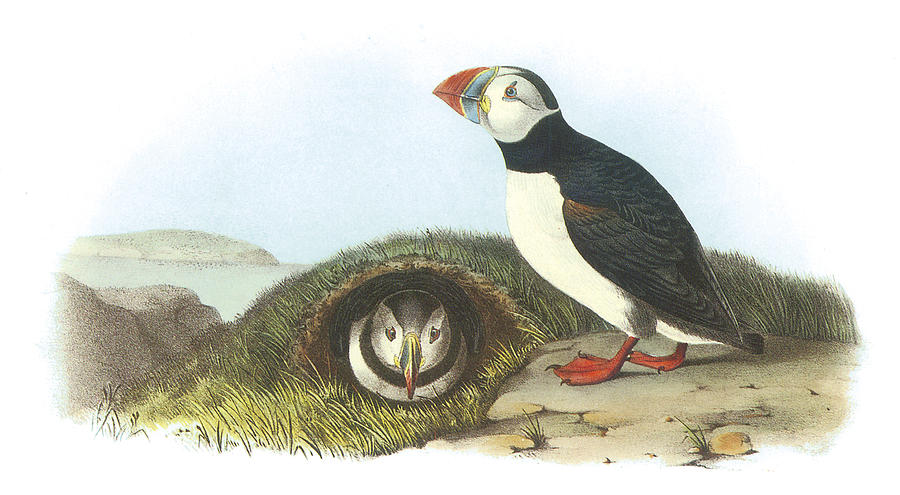 Atlantic Puffin Painting  - Atlantic Puffin Fine Art Print