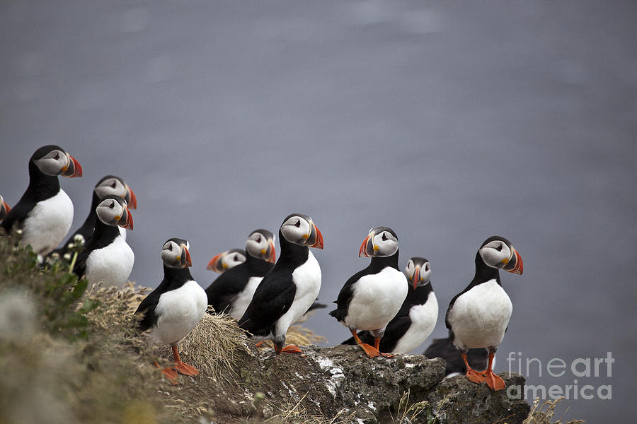 Atlantic Puffins On Cliff Edge Photograph  - Atlantic Puffins On Cliff Edge Fine Art Print
