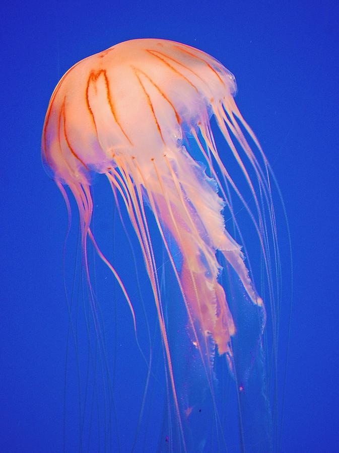 Jellyfish ocean sting penis
