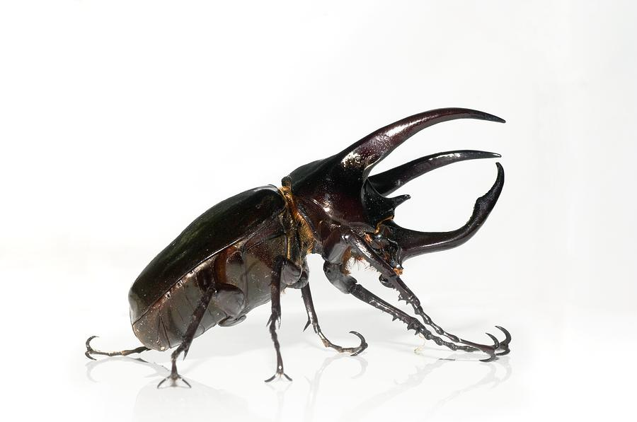 Atlas Beetle Photograph