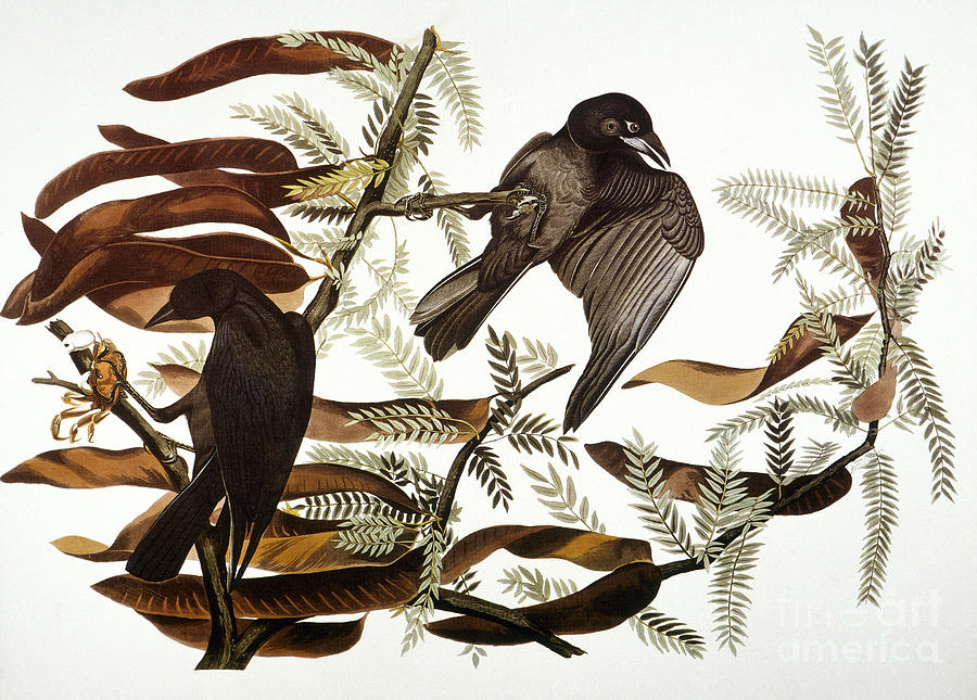 Audubon: Crow Photograph
