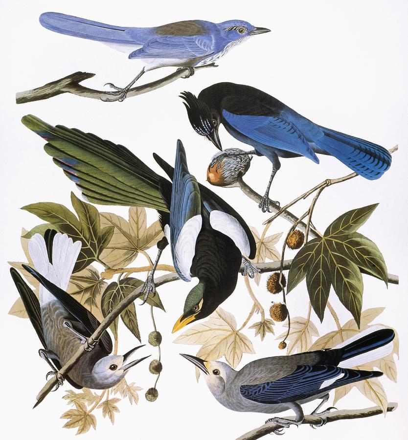 Audubon: Jay And Magpie Photograph
