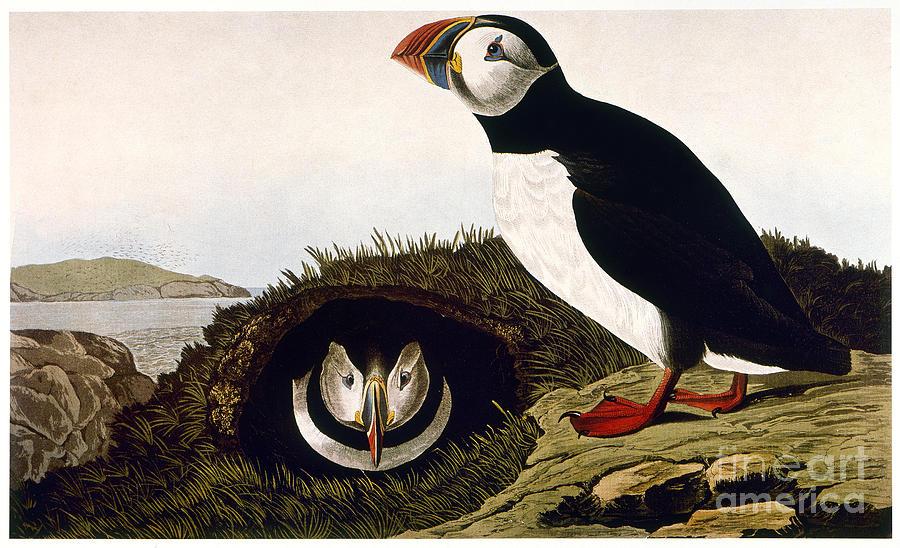 Audubon: Puffin, (1827-38) by Granger
