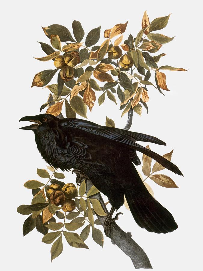 Audubon: Raven Photograph