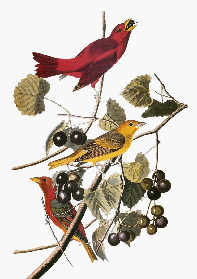 Audubon: Tanager Photograph