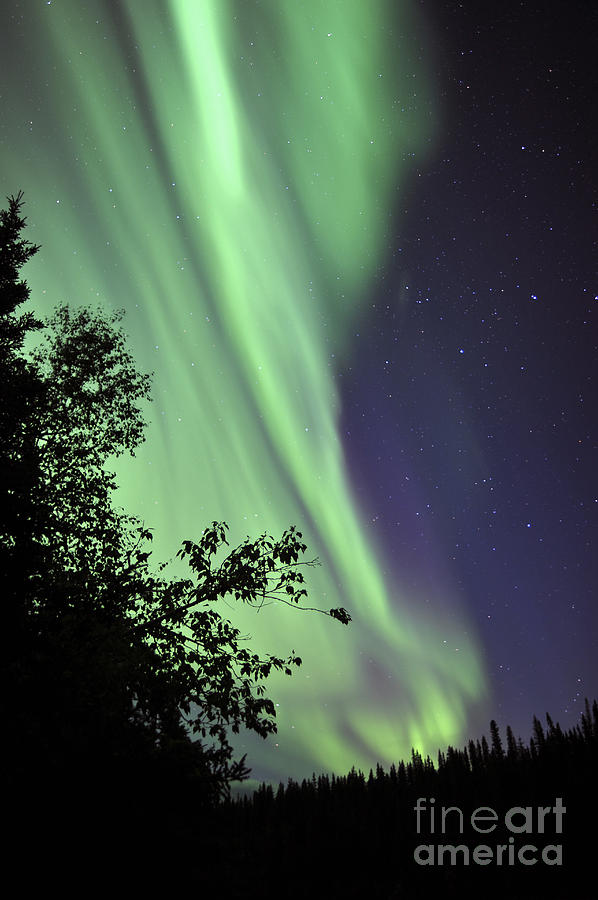 Aurora Borealis Above The Trees Photograph  - Aurora Borealis Above The Trees Fine Art Print