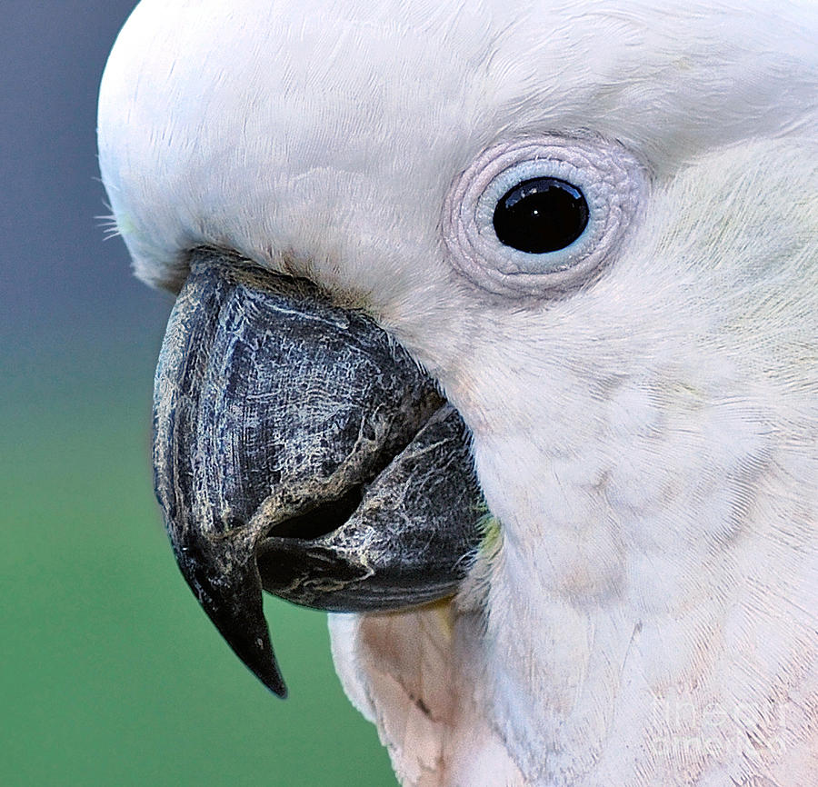 Australian Birds - Cockatoo Up Close Photograph  - Australian Birds - Cockatoo Up Close Fine Art Print
