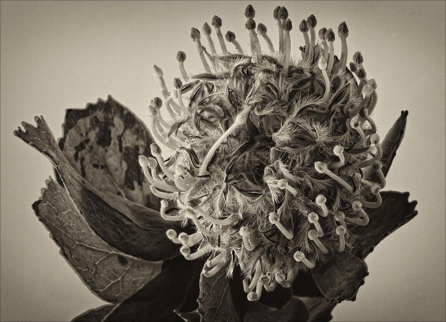 Australian Pincushion 2 Photograph