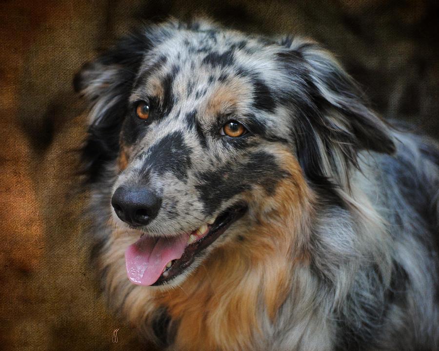 Australian Shepherd Portrait Photograph
