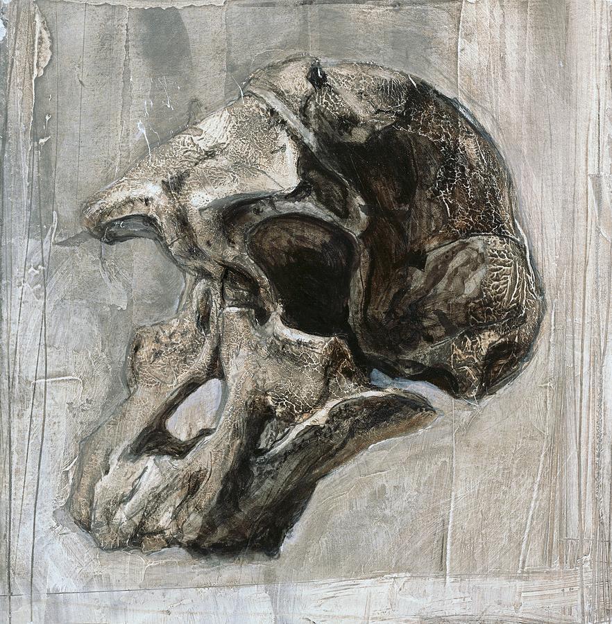 Australopithecus Africanus Skull Photograph