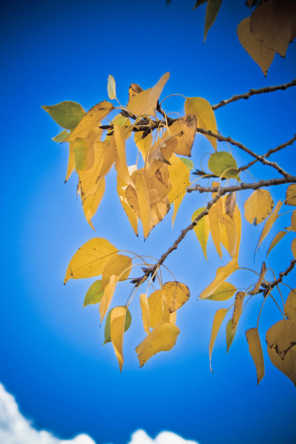Autumn Aspen Leaves And Blue Sky Photograph