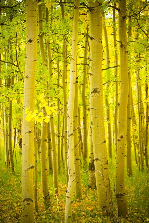 Autumn Aspens Vertical Image  Photograph