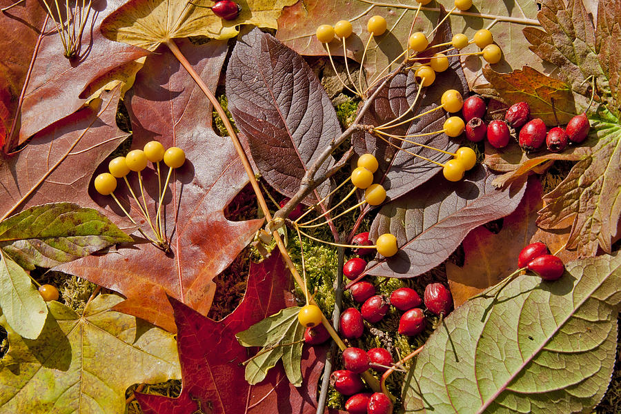 Autumn Berries And Leaves Background  Photograph  - Autumn Berries And Leaves Background  Fine Art Print