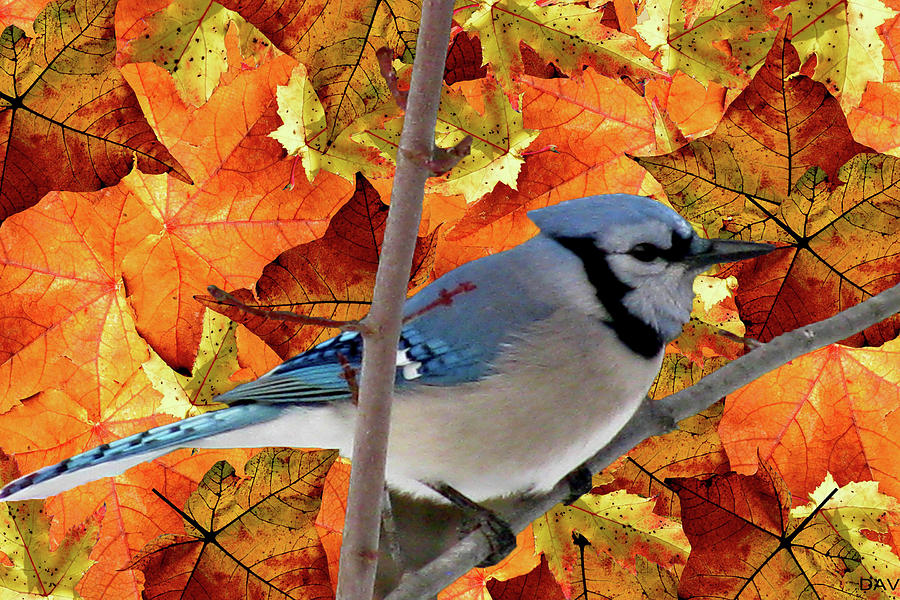 Autumn Blue Jay Mixed Media  - Autumn Blue Jay Fine Art Print