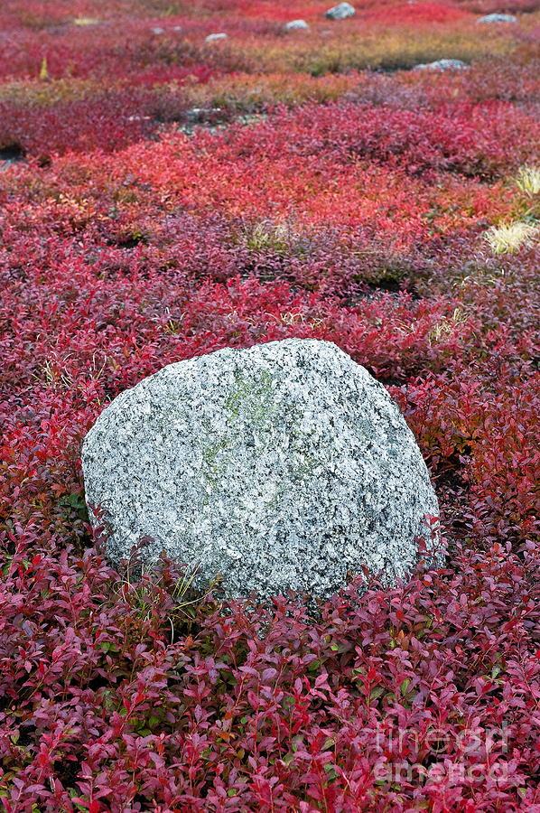 Autumn Blueberry Field Photograph