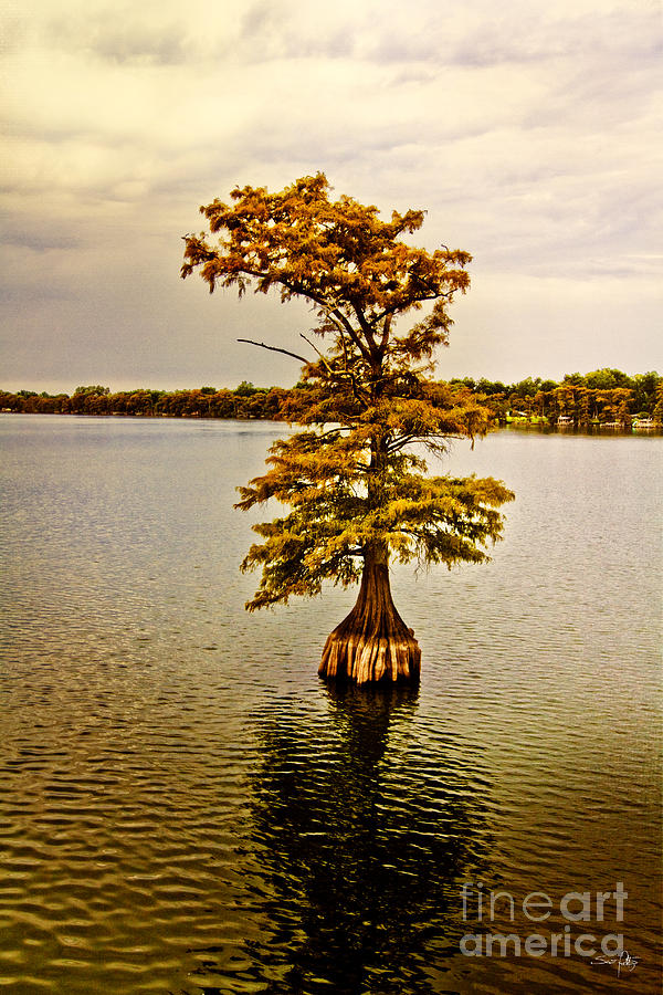 Autumn Cypress Photograph  - Autumn Cypress Fine Art Print