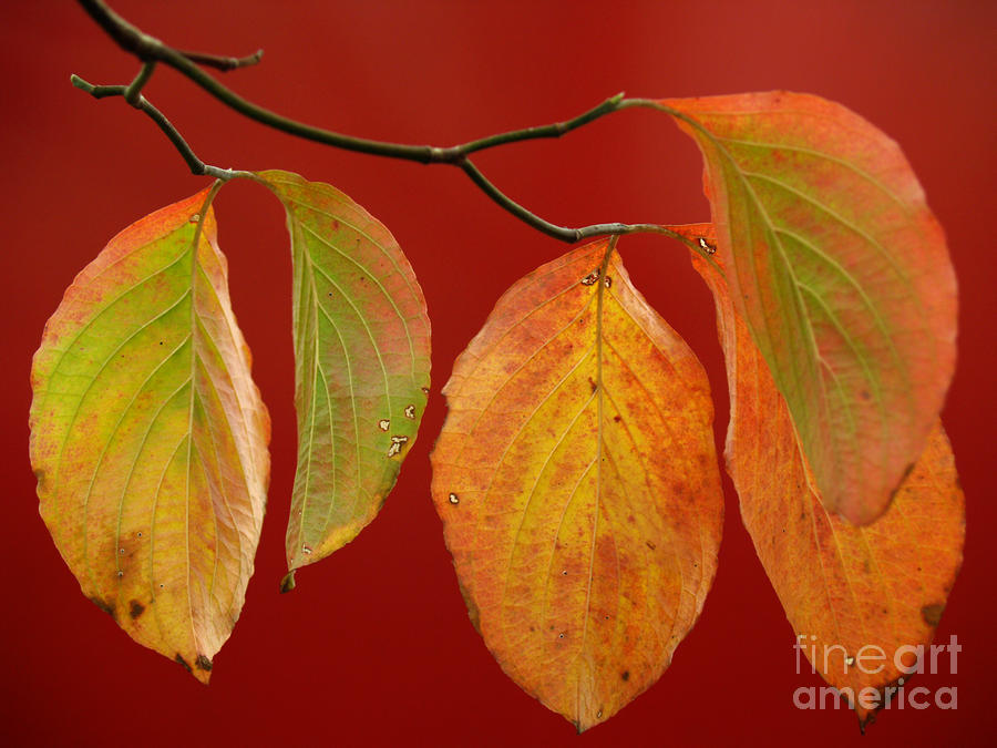 Autumn Dogwood Leaves On Red Photograph  - Autumn Dogwood Leaves On Red Fine Art Print