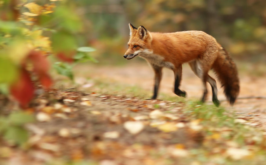 Autumn Fox Photograph By Mircea Costina Photography