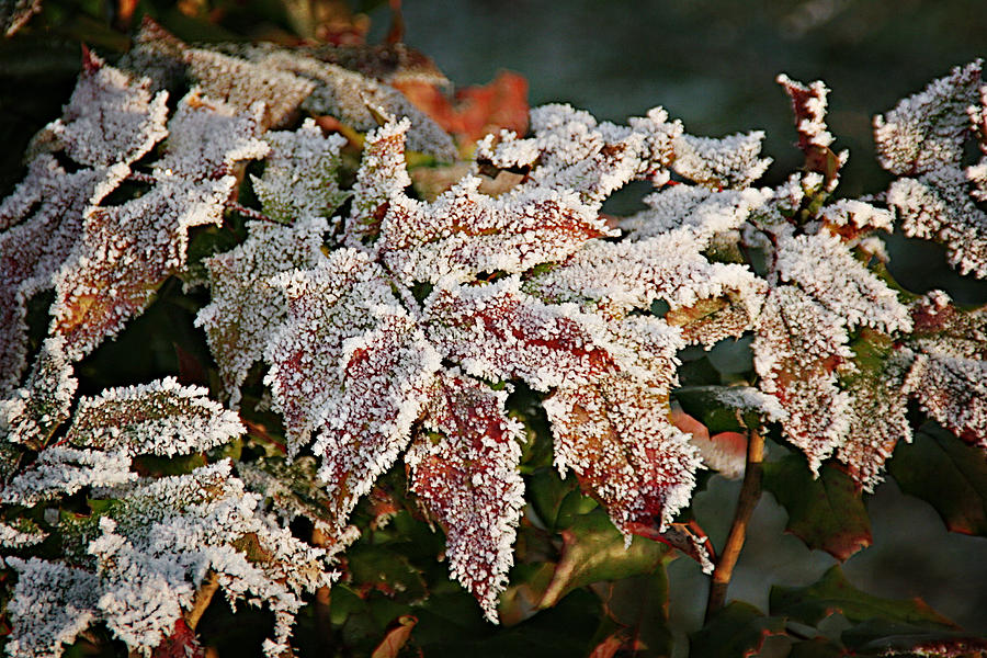Autumn Leaves In A Frozen Winter World Photograph