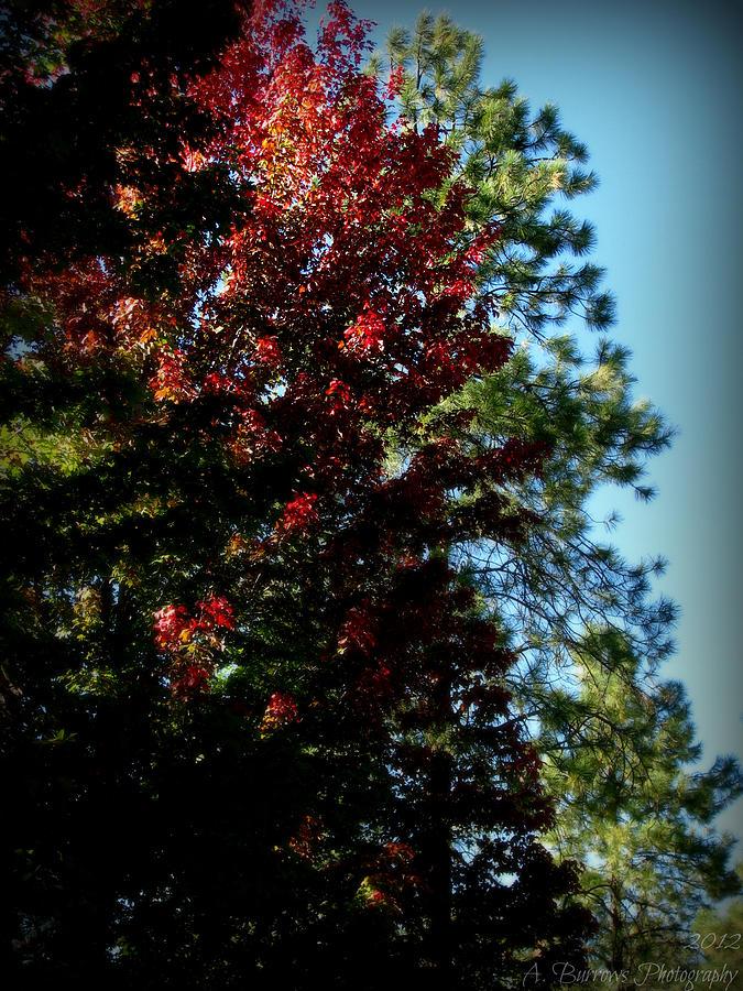 Autumn Maple And Ponderosa Pines Photograph