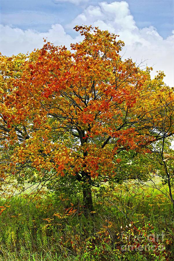 Autumn Maple Tree Photograph