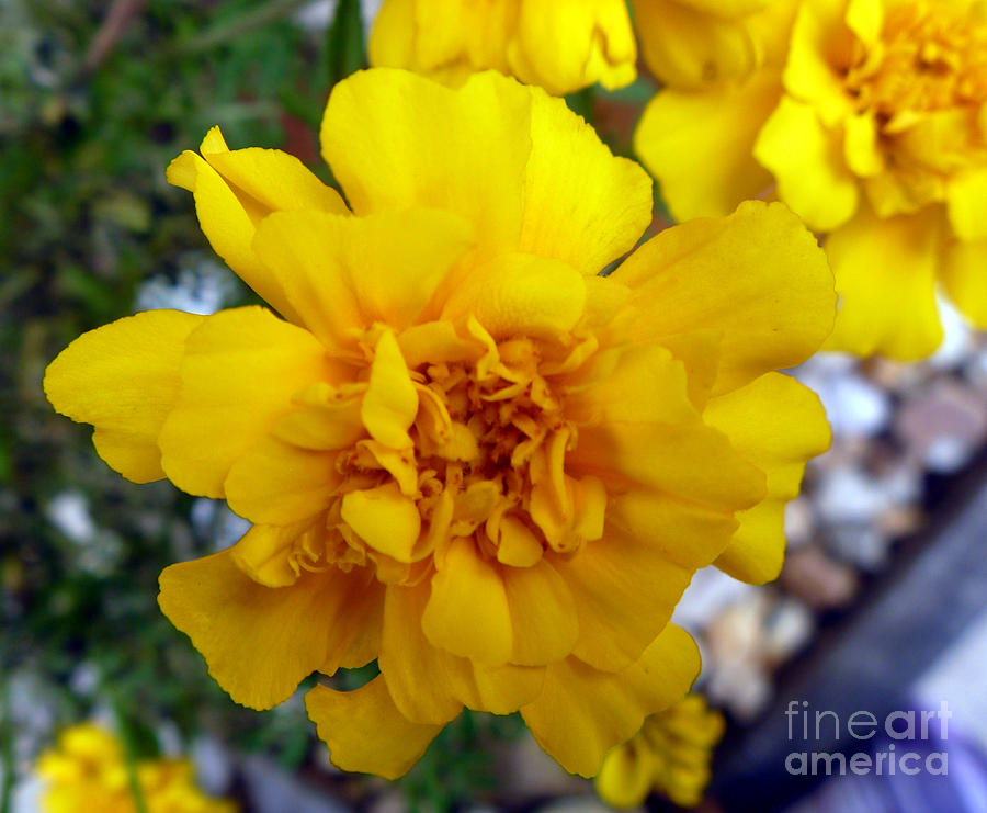 Fall Flower Photograph - Autumn Marigold 1 by Alys Caviness-Gober