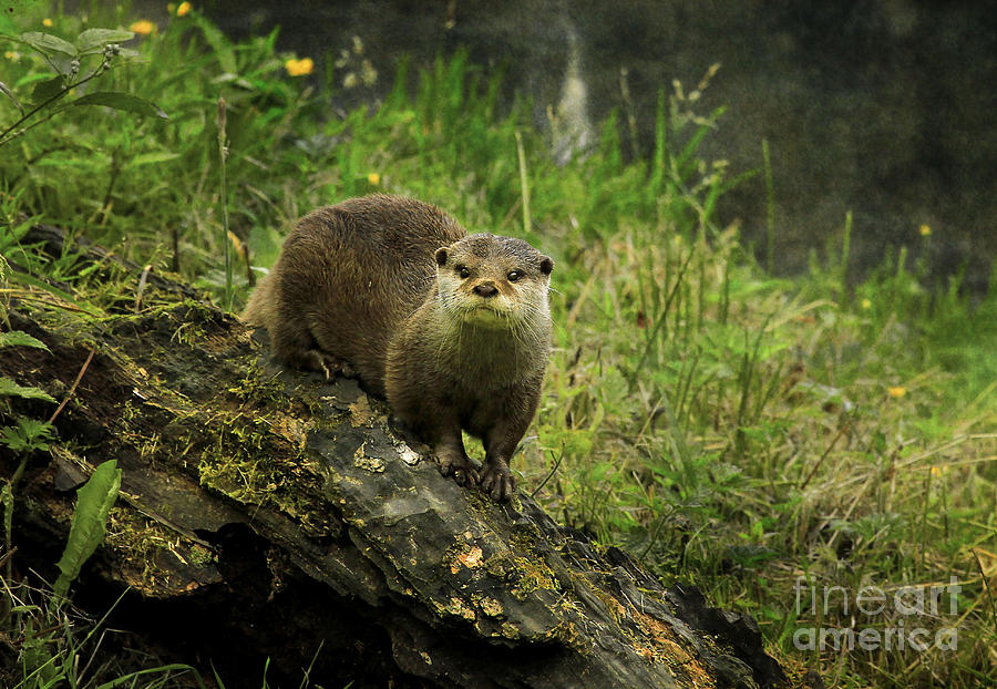 Autumn Otter Photograph  - Autumn Otter Fine Art Print