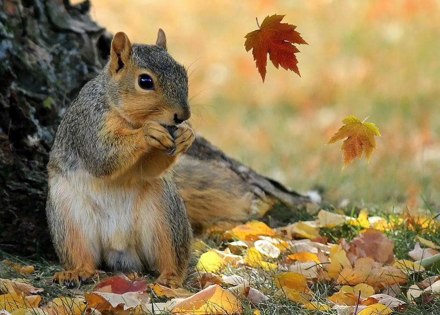 Autumn Squirrel Photograph  - Autumn Squirrel Fine Art Print