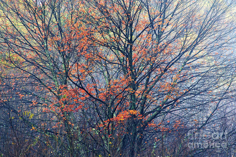 Autumn Sugar Maple In Fog Photograph