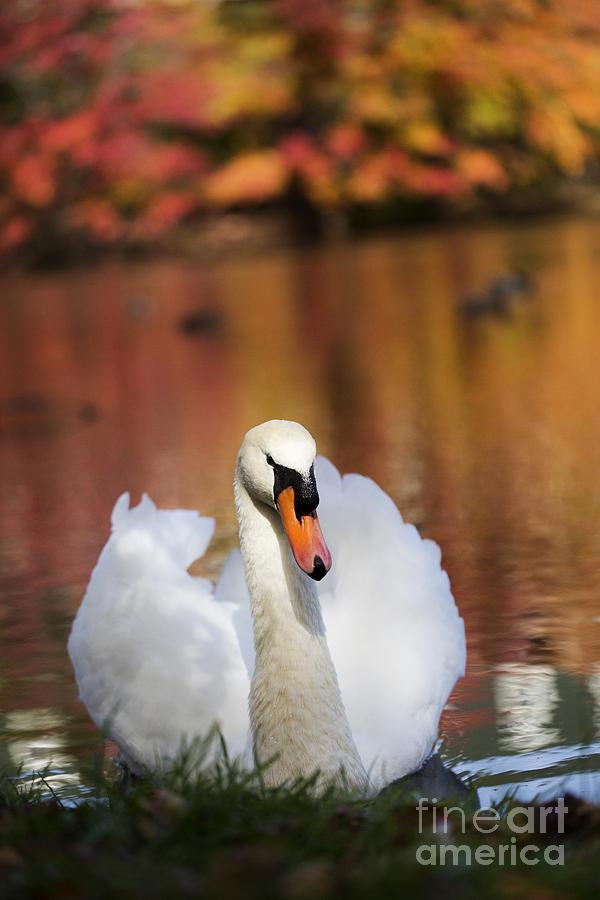 Autumn Swan Photograph