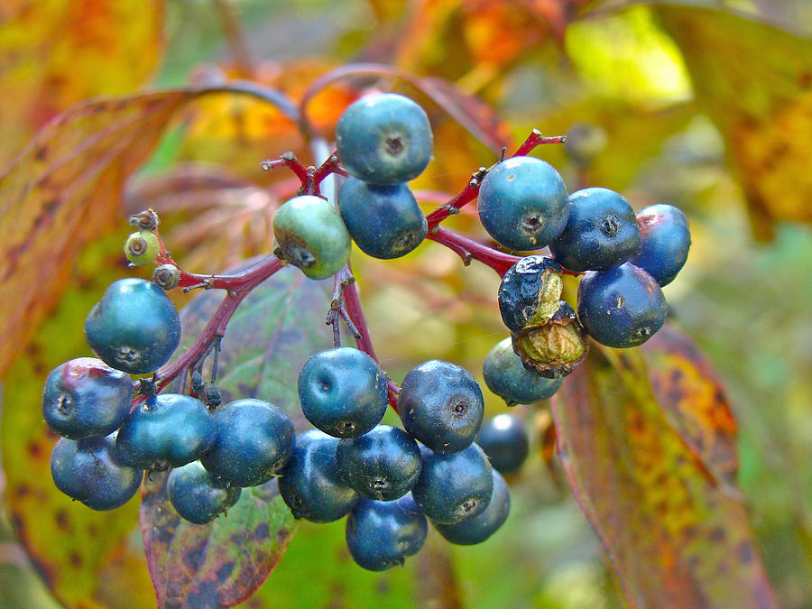 Autumn Viburnum Berries Series #4 Photograph  - Autumn Viburnum Berries Series #4 Fine Art Print